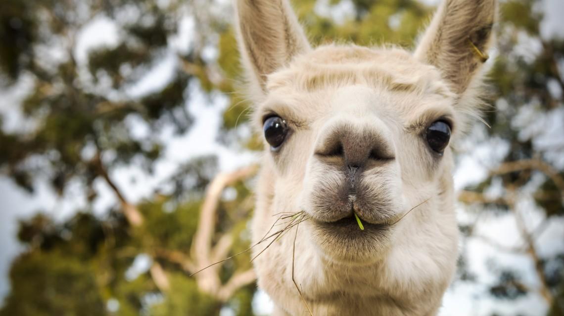 Alpaca on an Australian farm eating some grass